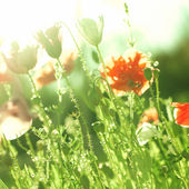 Orange poppies in the sunlight — Foto de Stock