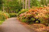 Shrubbery flowering rhododendrons — Stock Photo