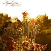 Aquilegia in sunshine — Stock Photo