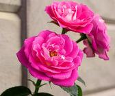 Rosa 'Majora' — Stock Photo