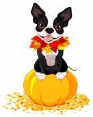 Boston Terrier sits on a pumpkin — Stock Vector