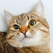 Funny kočka面白い猫. — Stock fotografie