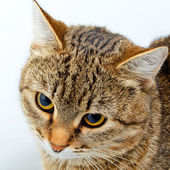 Cat inquiring look. — Stock Photo