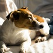 Jack Russell Terrier - hunting breed of dogs — Stock Photo #52403463