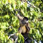 Spider Monkeys of the genus Ateles — Stock Photo #52772401