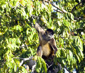 Spider Monkeys of the genus Ateles — Stock Photo