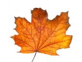 Autumn maple branch with leaves isolated on a white background — Stock Photo