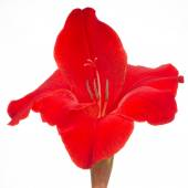 Red Gladiolus Flower Close-Up Isolated on White Background — Stock Photo