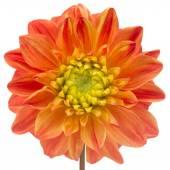 Beautiful Orange Dahlia Close-Up Isolated on White Background — Stock Photo