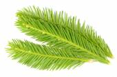 Bright Green Spruce Branches Isolated on White Background — Stock Photo