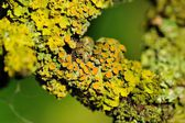 Lichen on Tree Bark Close-Up — Stock Photo