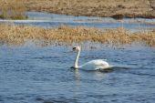 Bílá labuť, koupání v jezeře — Stock fotografie