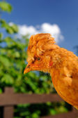 Cute Crested Chicken Outdoors — Stock Photo