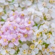 White and Pink Yarrow (Achillea) Flowers Close-Up — Stock Photo #62148677