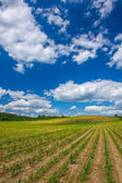 Rows of Corn Plants Growing in the Field Under Blue Sky — Stock Photo