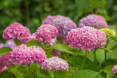 Beautiful Pink Hydrangea Flowers Growing in the Garder — Stock Photo