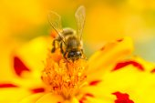 Bee Pollinating Marigold (Tagetes) Flower — Stock Photo