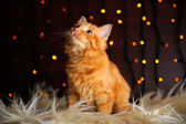 Cute Fluffy Red Kitten — Stock Photo
