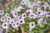 Purple and White Petunia Flowers — Stock Photo