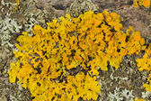 Golden Shield Lichen Close-Up on Tree Bark — Stock Photo