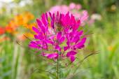 Pink Cleome Growing on Flower Bed — Stock Photo