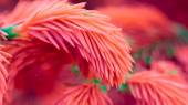Coral Pink Spruce Branches Close-Up (16:9 Aspect Ratio) — Stock Photo