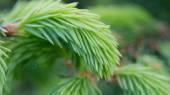 New Green Spruce Branches (16:9 Aspect Ratio) — Stock Photo