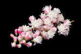Fuzzy Deutzia Flowers on Black Background — Stock Photo