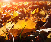 Yellow, orange and red autumn leaves — Stock Photo