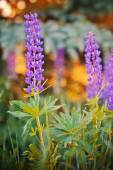 Wild-growing lupine flowers — 图库照片