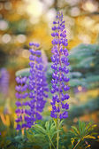 Wild-growing lupine flowers — Stock Photo