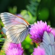 White butterfly on chive flowers — Stock Photo #66014531