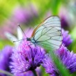 White butterfly on chive flowers — Stock Photo #66014665