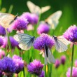 White butterfly on chive flowers — Stock Photo #66014679