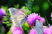 White butterfly on chive flowers — Stock Photo