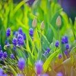 Muscari and tulips buds  in evening light — Stock Photo #75046827