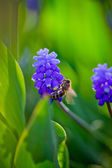 Dark blue flowers Muscari with bee — Stock Photo