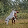Two young horses playing — Stock Photo #75065829