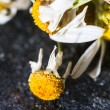 Dry medical Chamomile flowers — Stock Photo #57929279