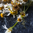 Medicine Chamomile flowers — Stock Photo #57929299