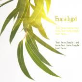 Green Eucalyptus branch — Foto de Stock