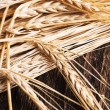 Ears of barley for brewing beer — Stock Photo #63238859