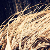 Ears of barley for brewing beer — Stock Photo