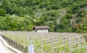 Italian landscape with vineyard — Stock Photo