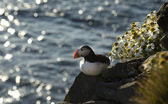 Atlantic puffin seating on rock — Stock Photo