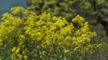 Yellow Wildflowers in Spring time — Stock Video
