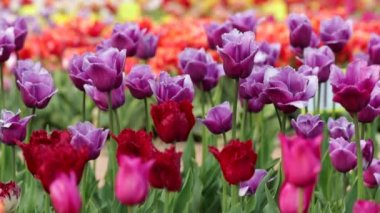 Tulips as Background — Stock Video
