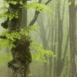 Strong Fog in the Beech Forest. — Stock Photo #80552364