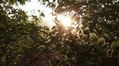 Apple Tree at Sunset Rays HD — ストックビデオ