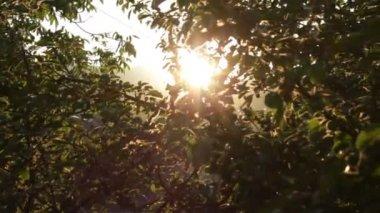 Apple Tree at Sunset Rays HD — Stock Video